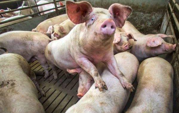 Свинство какое-то! На селекционный центр в Оренбуржье тайно завели дело